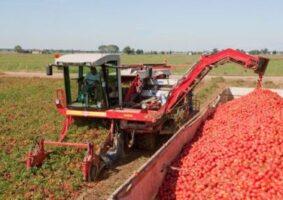 tomato fruits