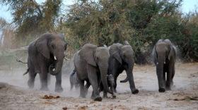 trade Elephants Africa